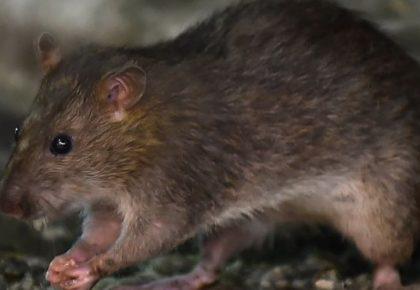 Enfermedades que transmiten las ratas