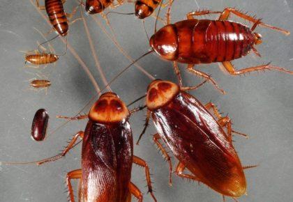 Cucaracha americana o periplaneta americana: Conócelo todo sobre la cucaracha gigante